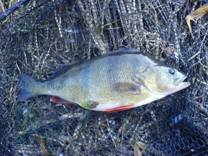 Sonning Thames 2lb Perch
